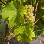 Cépage de Chardonnay