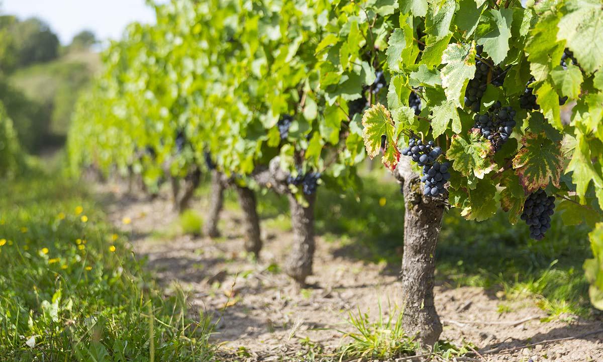 Grappes et pieds de vigne de raisin rouge